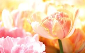 Картинка макро, лепестки, тюльпаны