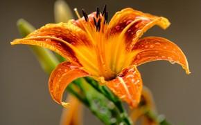 Обои цветок, макро, flower