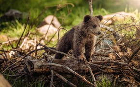 Картинка взгляд, ветки, природа, поза, дерево, малыш, медведь, мишка, медвежонок, сосна, бурый, мишутка, валежник