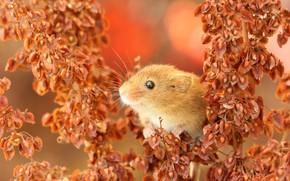 Картинка мышка, мордочка, грызун, Мышь-малютка