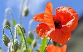 Картинка лето, цветы, мак