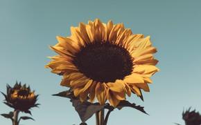 Картинка жёлтый, подсолнух, цветение