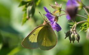 Картинка цветок, бабочка, боке, лимонница