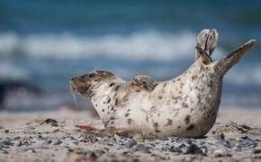 Картинка море, взгляд, поза, галька, камни, берег, тюлень, лежит, морской котик, детеныш, водоем, голубой фон, хвостик, …