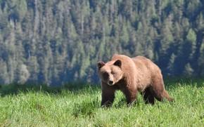 Картинка лес, лето, трава, свет, поляна, медведь