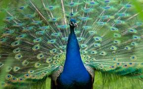 Картинка птица, хвост, павлин, веером