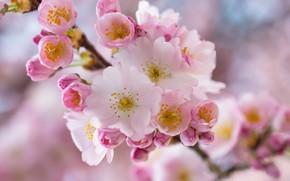 Картинка макро, вишня, ветка, весна, цветение, цветки, ветка вишни