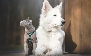 Картинка кошка, собака, Белая швейцарская овчарка, Русская голубая кошка