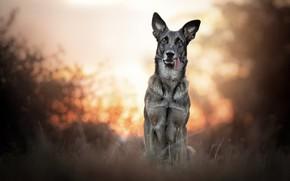 Картинка закат, природа, собака
