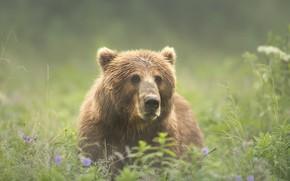 Обои лето, трава, взгляд, морда, природа, зеленый, фон, поляна, портрет, медведь, луг, мишка, красавец, бурый
