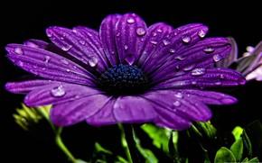 Картинка цветок, капли, лепестки