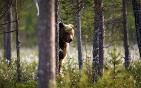 Картинка лес, взгляд, морда, дерево, медведь, ствол, стойка, бурый, выглядывает
