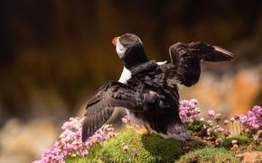 Картинка полет, поза, фон, птица, крылья, холм, тупик, цветочки, коричневый, взлет, взмах, атлантический тупик, размах