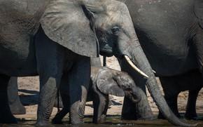 Картинка природа, слоны, водопой