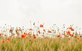 Картинка поле, трава, цветы, мак, маки, flowers