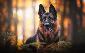 Картинка взгляд, морда, портрет, собака, боке, Немецкая овчарка