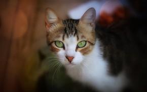 Картинка кошка, взгляд, мордочка, боке