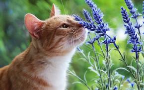 Обои кошка, лето, кот, взгляд, морда, цветы, природа, зеленый, фон, рыжий, запах, аромат, лаванда, нюхает