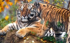 Картинка осень, морда, листья, ветки, природа, тигр, поза, фон, листва, камень, лапы, малыш, пара, лежит, ласка, …