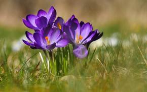Картинка трава, макро, боке, Крокусы, Шафран