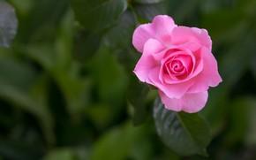 Картинка макро, фон, розовая, роза, лепестки, бутон, боке