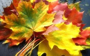 Картинка разноцветные, кленовые листья, осенние листья