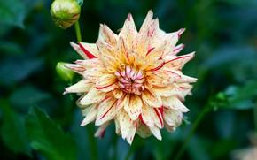 Картинка цветок, листья, макро, фон, лепестки, сад, бутоны, двухцветная, полосатая, георгина, боке, георгины, дахлия, желтая с …