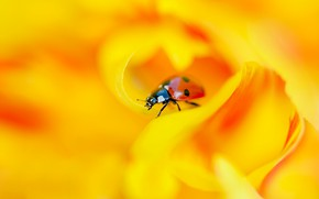Картинка цветок, макро, оранжевый, желтый, красный, фон, божья коровка, жук, размытие, лепестки, насекомое, жучок, боке
