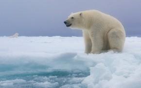 Картинка снег, Полярный медведь, Белый медведь, Майк Рейфман