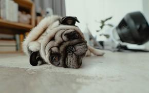 Картинка морда, дом, отдых, мопс, лежит, house, квартира, отдыхает, lies, pug, resting, apartment, muzzle, recreation