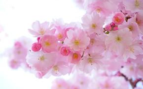 Картинка цветы, ветка, весна, сакура, белый фон, нежные, розовые, цветение