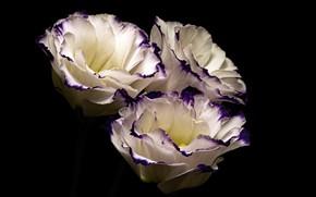 Картинка цветы, фон, French Rose