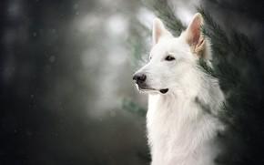 Картинка морда, ветки, портрет, собака, боке, Белая швейцарская овчарка