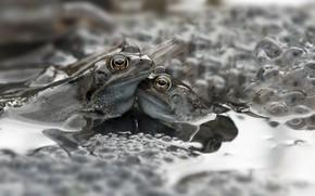 Картинка вода, природа, лягушки, икринки