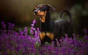 Картинка лето, взгляд, морда, цветы, природа, поза, темный фон, собака, черная, стоит, сиреневые