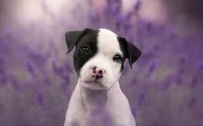 Картинка глаза, взгляд, морда, цветы, природа, фон, сиреневый, черно-белый, портрет, собака, щенок, лаванда, пятнистый