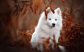 Картинка осень, листья, ветки, собака, Самоед