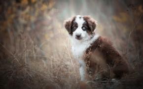 Картинка осень, взгляд, туман, фон, стебли, листва, собака, щенок, мордашка, сидит, коричневый, размытый, сухая трава, разные ...