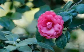 Картинка листья, розовая, камелия