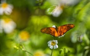 Картинка зелень, белый, цветок, лето, листья, макро, свет, фон, бабочка, оранжевая, размытие, весна, насекомое, рыжая, боке