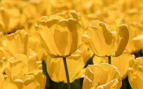 Картинка природа, весна, тюльпаны, плантация