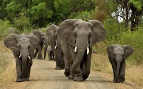Обои стадо, слоны, дорога