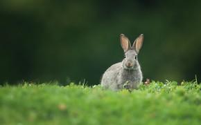 Картинка заяц, луг, ушастик