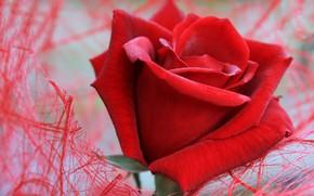 Картинка цветок, макро, сетка, роза, красная
