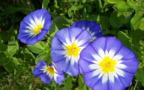 Картинка макро, цветы, вьюнок, Mamala ©