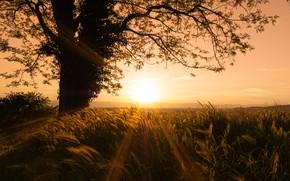 Картинка поле, закат, дерево, рожь