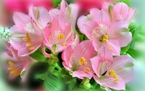 Картинка букет, розовые цветы, Альстромерия