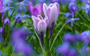 Картинка капли, пчела, поляна, весна, крокусы, сиреневые, боке