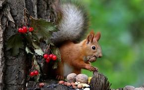 Картинка осень, природа, поза, ягоды, фон, дерево, пень, белка, мордочка, орехи, семечки, зеленый фон, боке, калина
