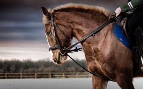 Картинка взгляд, морда, конь, лошадь, портрет, наездник, профиль, гнедой, упряжь, ипподром